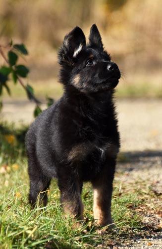 oudduitse herder pup